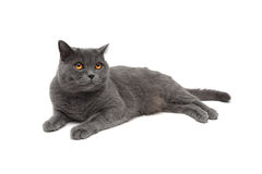Cat with yellow eyes isolated on a white background Stock Images
