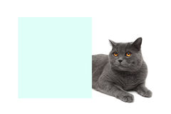 Cat with yellow eyes lying about banner Royalty Free Stock Photo
