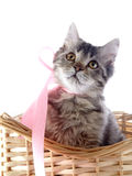 Cat with yellow eyes and a pink tape in a wattled basket. Stock Photography