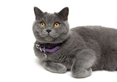 Cat with yellow eyes in purple collar on a white background Royalty Free Stock Photography