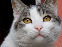Cat. With yellow eyes and a reflection in them Royalty Free Stock Images