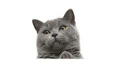 Cat with yellow eyes sits behind a white banner and looking up Stock Photos