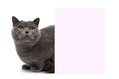 Cat with yellow eyes sitting at the banner on a white background Royalty Free Stock Photo