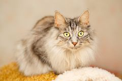 Cat with yellow eyes Royalty Free Stock Photography