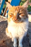 The cat. yellow and white stray cat. The cat. yellow and white stray cat royalty free stock photos