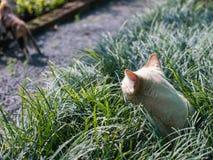 Cat Yellow White Striped Head Notch Hiding , Peeking at Another. Stray Cat Yellow White Striped Head Notch Hiding in The Grass , Peeking at Another Cat Royalty Free Stock Photos