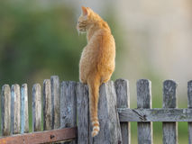 Cat. Yellow cat on a wooden fence Royalty Free Stock Photos