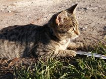 Cat animal Royalty Free Stock Photo
