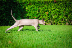 Cat. Young cat hunting on the lawn Royalty Free Stock Photography