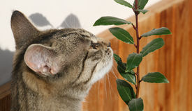 Cat and young laurel bay tree Royalty Free Stock Photo