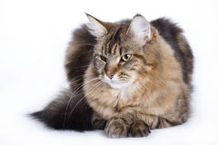 Cat, Young Maine Coon Stock Photos