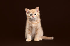 Cat. Young red british kitten on dark brown background Stock Photo