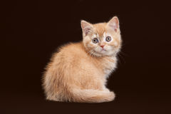 Cat. Young red british kitten on dark brown background Stock Photos