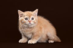 Cat. Young red british kitten on dark brown background Stock Images