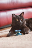 Cat with yoyo. The black cat playing with a yoyo on carpet against a leather couch Stock Photos