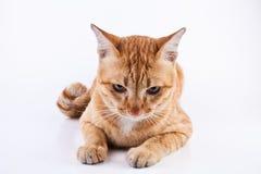 cat2 免版税库存图片