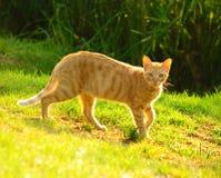 Cat2 dorato Immagine Stock