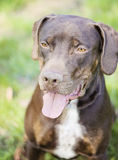 Catahoula Royalty Free Stock Images