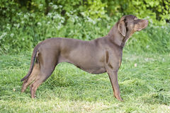 catahoula Royaltyfri Foto