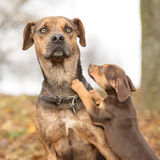 路易斯安那Catahoula狗被惊吓育儿 库存图片