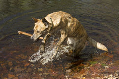 Catahoula dog leaping from water with a stick, Connecticut. Royalty Free Stock Images