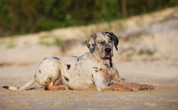Catahoula dog outdoors Royalty Free Stock Photos