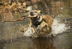 Catahoula dog running and splashing with stick in its mouth. Royalty Free Stock Images