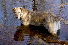 Catahoula dog standing in water, looking back, curious. Royalty Free Stock Photos