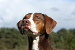 Catahoula eyes Royalty Free Stock Images