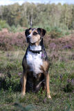 Catahoula leopard dog Stock Photography