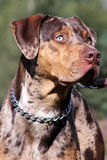 Catahoula leopard dog stock image
