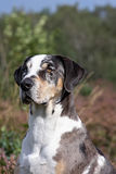 Catahoula leopard dog Royalty Free Stock Photos