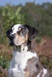 Catahoula leopard dog. Portret of a tri-color  louisiana catahoula leopard dogs with blue eyes Royalty Free Stock Photos