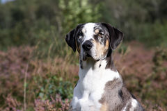 Catahoula leopard dog. Portrait of a tri-color  louisiana catahoula leopard dogs with blue eye and brown eye Royalty Free Stock Images