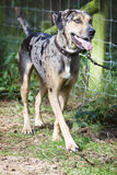 Catahoula Leopard Dog. Cute Young Tricolor nice dog Stock Photography