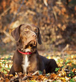 Catahoula Leopard Dog. In Autumnal Wood brown color with red collar Royalty Free Stock Photography