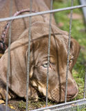 Catahoula Leopard Dog in Cage Stock Image