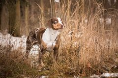 Catahoula Leopard Dog in grass royalty free stock image
