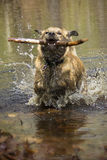 Catahoula leopard dog splashing as it retrieves a stick. Stock Photography
