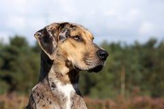 Catahoula leopard dogs. Profile of a louisiana catahoula leopard dogs Royalty Free Stock Photography