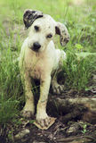 Catahoula leopard puppy dog Stock Image