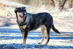 Catahoula mix and Austrian Shepard dog. Family dog mutt catahoula and austrian shepard dog happy friendly dog royalty free stock photography