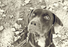 Catahoula Portrait in Black and White Royalty Free Stock Photo