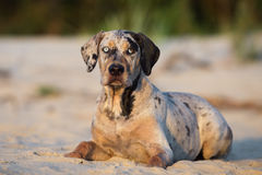 Catahoula puppy on a beach Royalty Free Stock Image