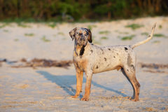 Catahoula puppy on a beach Royalty Free Stock Photography