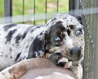 Catahoula Puppy with Blue eyes Stock Images