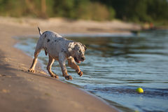 Catahoula puppy playing on a beach Royalty Free Stock Images