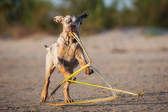 Catahoula puppy playing on a beach Royalty Free Stock Photo