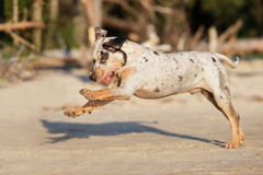Catahoula puppy running on a beach Royalty Free Stock Images