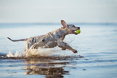 Catahoula puppy running in water Royalty Free Stock Photos